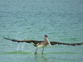 Pelican taking flight