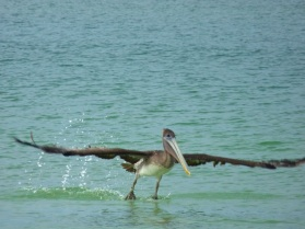 Pelican taking flight